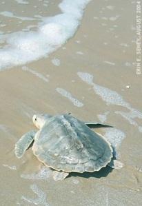 kemp turtle