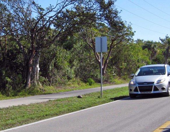 Gopher Tortoise stopping traffic on San-Cap Road