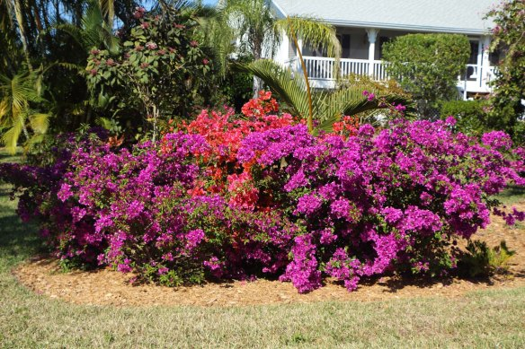 Bougainvillea are still blooming here everywhere...