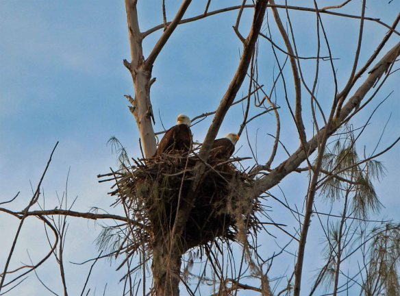 A pair of bald eagles, 01-31-2013