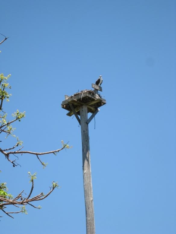 Osprey 4