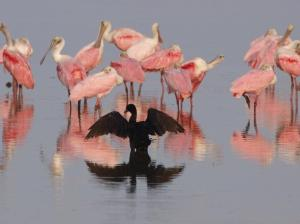 Another great photo by Hans, this one with an anhinga & roseate spoonbill friends.