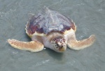 Kemps_ridley_sea_turtle_in_water-2
