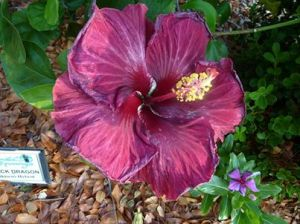 Sanibel Moorings Black Dragon Hibiscus Hybrid_07-11-13