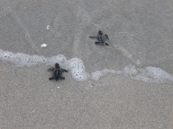 Seaturtlehatchlings