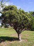 Joewood tree