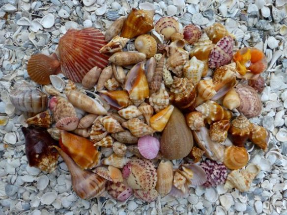 mid-August-Sanibel-shells
