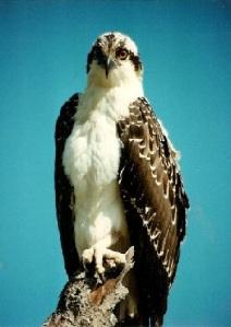 osprey from IOF