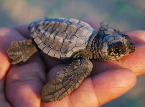 loggerhead_sea_turtle_baby_blog