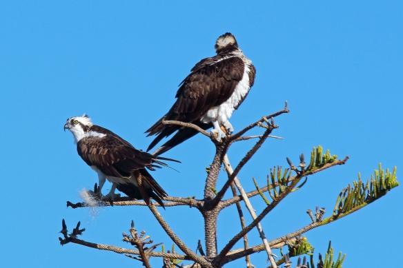 osprey fishing line