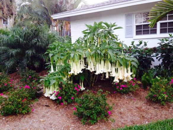 April 16 Angel Trumpet