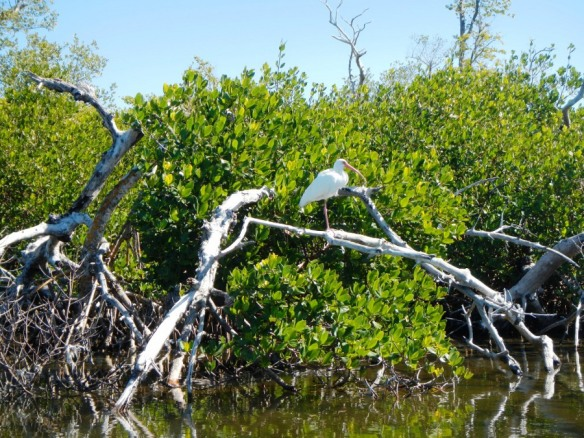 black mangroves captiva