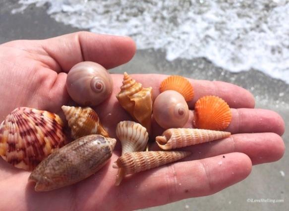 Shells at beachcombing Bowmans Beach