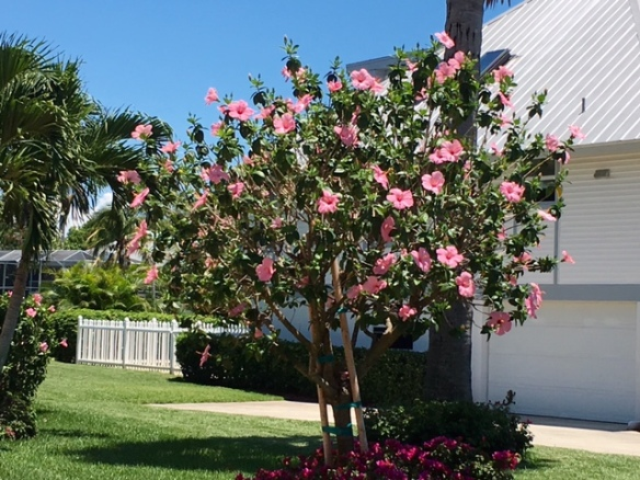 Hibiscus Tree 05-16.jpg