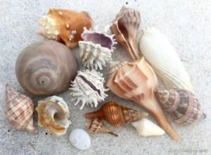 Sanibel-shells-from-storm-winds