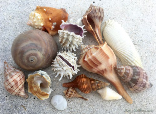 Sanibel-shells-from-storm-winds