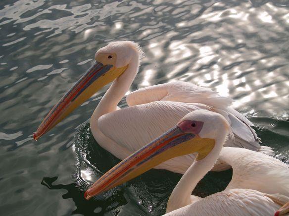 great-white-pelican-namibia
