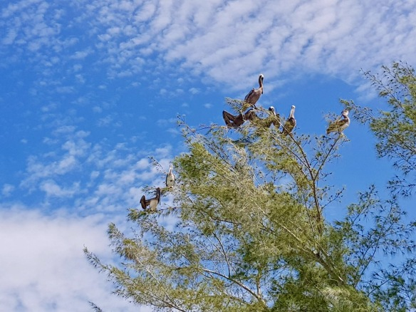 Chateau pelicans 07-17