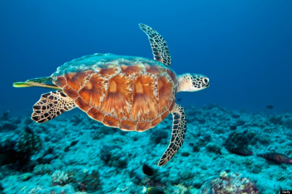 GREEN-SEA-TURTLE-900