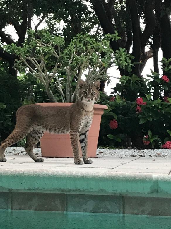 2017-08-12 bobcat