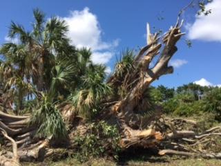 Beachview Tree 2017-09-12