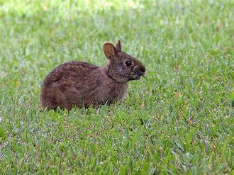 sanibel bunny