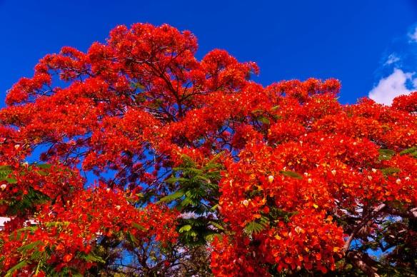 RoyalPoincianaTrees