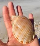 scotch bonnet shell 01-15-19